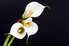White Calla lilies over black background. Royalty Free Stock Photo