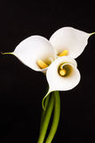 White Calla lilies over black background. Stock Photo