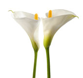 White calla lillies. Isolated on white. Bud and full-bloom Stock Photo