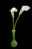White Calla lilly flower in green vase Stock Images