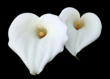 White Calla Lilly flowers Stock Photo