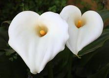 White Calla Lilly flowers Stock Photos