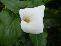 White calla lilly in green leaves Stock Images