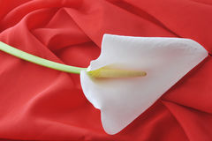 White  calla lily Royalty Free Stock Photo