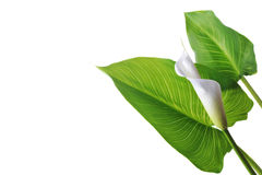 White  calla lily. On green leaves close up Royalty Free Stock Photos