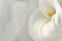 White calla lily Royalty Free Stock Photography