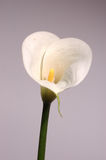White calla lily. On grey background Stock Photography