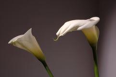 White calla lily. Two white calla lily on grey background Stock Photo