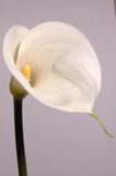 White calla lily. On grey background Royalty Free Stock Photos