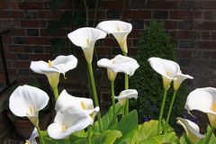 White calla lily blossoms royalty free stock photo