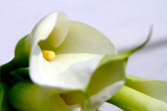 White calla lily detail. Focused to yellow stamen in the middle flower Stock Image