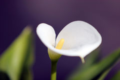White calla lily flower Stock Photo