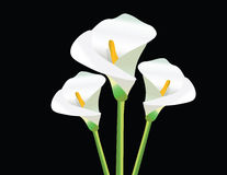 White Calla Lily flowers on black. Background Vector Stock Image