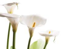 White calla lily flowers Stock Photos