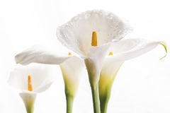White calla lily flowers Stock Photo