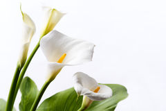 White calla lily. Flowers in front of white background Stock Image