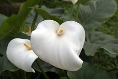 White calla lily in garden. Calla lilies are one of the most beautiful flowers with a unique flower form royalty free stock photo