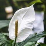 White Calla Lily Stock Photo