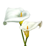 White calla lily isolated on a white. Background Royalty Free Stock Photo
