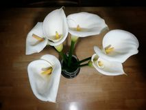 White Calla Lily Royalty Free Stock Photos