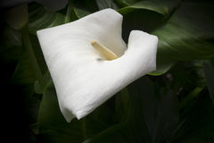 White Calla Lily Royalty Free Stock Images