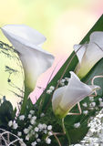 White Calla lilys. Close up of  white calla lilies Royalty Free Stock Images
