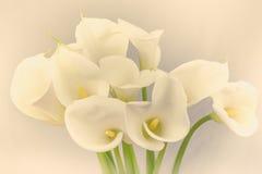 White calla Stock Photo