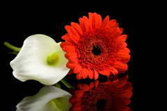 White Calla and red Gerber flowers Royalty Free Stock Photo