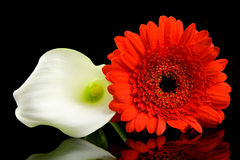 White Calla and red Gerber flowers royalty free stock images