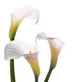White callas flowers Stock Photos