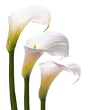 White callas flowers Stock Photography