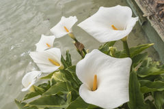White Callas lilies at the corner of a pond Stock Photos