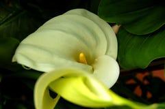 White callea Stock Image