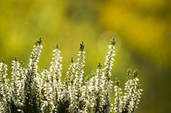 White calluna vulgaris Royalty Free Stock Images
