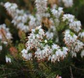 Calluna vulgaris in a garden. White Calluna vulgaris in a garden Stock Photo
