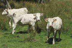 White calves grazing stock photography