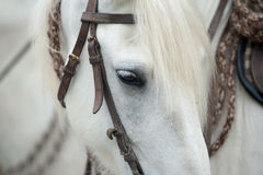 White camargue horse Royalty Free Stock Images