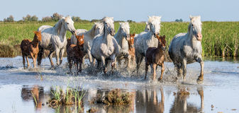 White Camargue Horse with foal run in the swamps nature reserve. Parc Regional de Camargue. France. Provence.