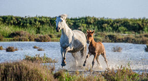White Camargue Horse with foal run in the swamps nature reserve. Parc Regional de Camargue. France. Provence. Royalty Free Stock Photography