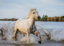 White Camargue Horse is runing in the swamps nature reserve. Parc Regional de Camargue. France. Provence. Royalty Free Stock Image