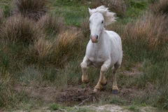 White camargue horse running Stock Photos