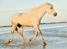 White Camargue horse running Royalty Free Stock Photo