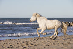 White Camargue Horse Stock Image