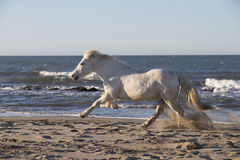 White Camargue Horse Royalty Free Stock Photo
