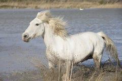White Camargue Horse Royalty Free Stock Image