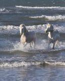 White Camargue Horse Stock Photography