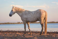 White camargue horse stallion in the nature reserve, Bouches-du-rhone, France. Beautiful white camargue horse stallion in the nature reserve, National park stock image
