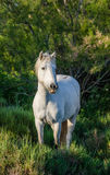 White Camargue Horse stand in the swamps nature reserve. Parc Regional de Camargue. France. Provence. An excellent illustration royalty free stock photo