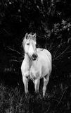 White Camargue Horse stand in the swamps nature reserve. Parc Regional de Camargue. France. Provence. An excellent illustration royalty free stock images