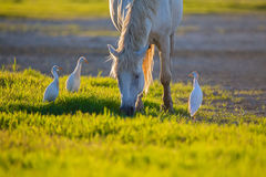 White camargue horse and three cattle erget by the lagoon. White camargue horse and cattle egret (Bubulcus ibis) in the lagoon. An ancient breed of horse Stock Photography
